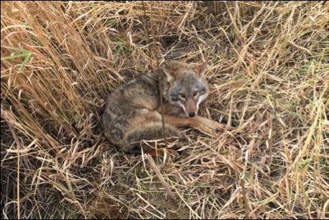 Image 1: Coyote with Iridium Lite GPS Transmitter