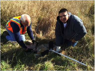 Image 3: Co-Author Shannon Dunham tagging a coyote